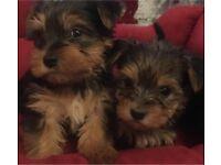 3 Yorkshire terrier puppys