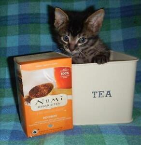 """Baby Male Cat - Domestic Short Hair: """"Rooibos"""""""