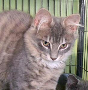 """Young Male Cat - Domestic Medium Hair: """"Maple"""""""