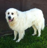 "Adult Male Dog - Great Pyrenees: ""Moses"""