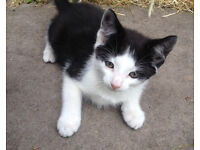 Two 9/10 week old kittens, Male and Female , both black and white