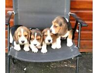 Gorgeous Pedigree Beagle puppies ready now