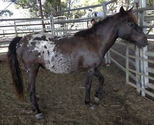 Kids pony for sale Casino Richmond Valley Preview