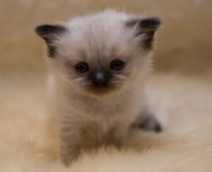 Available Ragdoll Kittens - Purebred Carefree Kittens