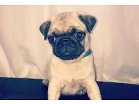 Pug puppy boy ready to go to a loving home