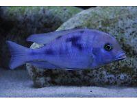 Tropical Fish (blue Dolphin cichlid malawi)