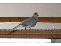 Diamond Dove free to good home