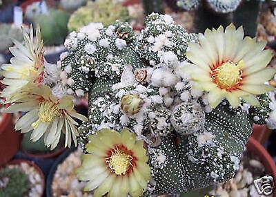 Astrophytum Asterias Kabuto Montrose Rare Japan Cultivar Cactus Seed 20 Seeds