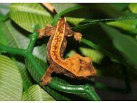 Gorgeous 90% Pinstripe Harlequin Crested Gecko Hatchling
