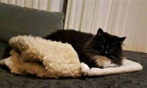 BONNIE (IF014-17) - rescue cat - *Vet Work Included* Brentwood Melville Area Preview