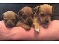 Rotti cross mastiff puppys