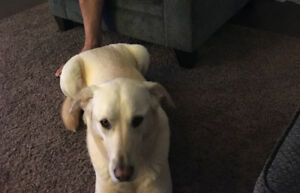 Chester - Lost Male Dog - Yellow Lab