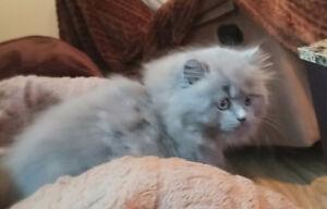 recherche chat male persan