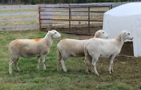Katahdin sheep- Rams & Bred ewes for sale