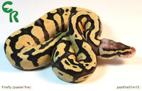 Chinook Reptiles - Ball Pythons available