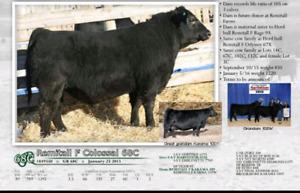 Registered Black Angus Bulls