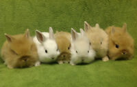 Dwarf Lionheads!! Taking reservations now!! **3 left**