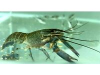 "4 ""Tropical Blue Lobster | Blue Crayfish | Australian red claw crayfish | £9.95 each"