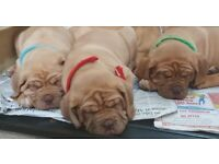 beautiful dogue de Bordeaux puppies ready now for th