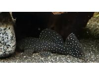 Peppermint Pleco