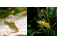 Mollies / Molly Fish Trio - 2 pastel marble females (rare) + 1 yellow male