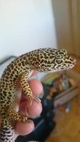 Normal male adult Leopard Gecko