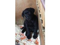 Gorgeous labrador KC registered black Male puppy