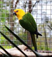 JENDAY CONURE - BREEDING PAIR Caboolture Caboolture Area Preview