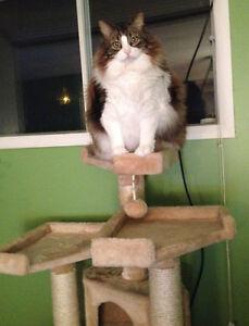 Zorro magnifique chat adulte dégriffé des pattes avant