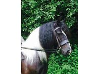 Beautiful 13.2 coloured gelding