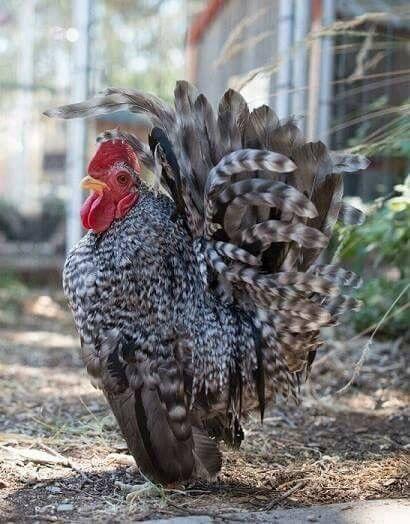 6 + 3 SQ Fresh Fertile Serama Hatching Eggs! Cuckoo, Blue, Black,& Mottled! NPIP