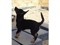 4 adorable chihuahua puppies with pedigree for sale
