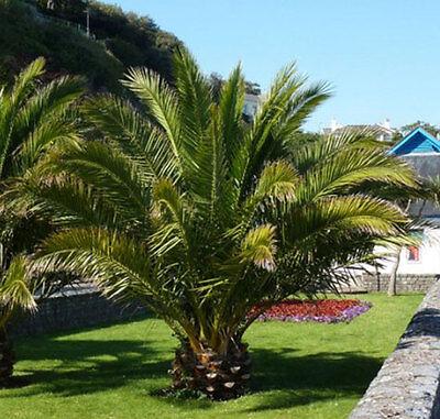 Phoenix Palm Tree Garden Tropical Exotic Outdoor Plant 120 Cm Tall Patio 5  L Pot