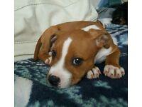 Staffy puppy ( female) must read