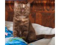 Beautiful bsh kitten