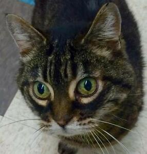 "Adult Female Cat - Tabby - Brown: ""Noleen"""