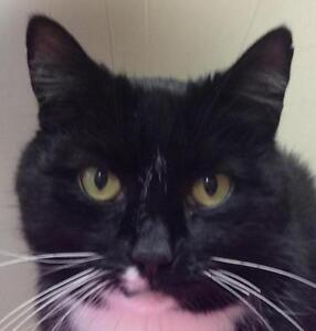 """Adult Male Cat - Domestic Short Hair-black and white: """"Pikachu"""""""