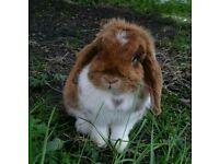 Pure Breed *Doe* Mini Lop Rabbit