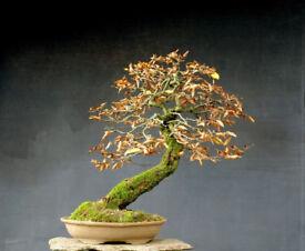 Large Yamadori Carpinus betulus European Hornbeam