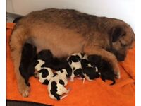 Springer spaniel x Jack Russell puppies. Ready 21st december
