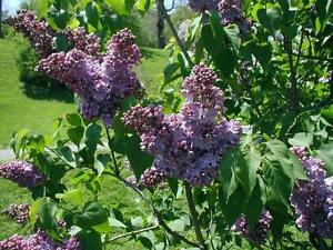FRAGRANT-PURPLE-LILAC-COLD-HARDY-PURPLE-FLOWERS