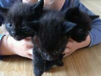 3 black boys kittens 8 week old