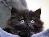 Last fluffy male kitten