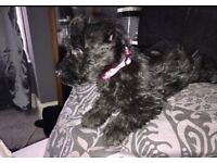 Scottish terrier Last little girl left must go