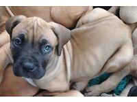 Boerboel cross puppies