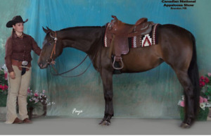 Ready to show ApHC mare - 7yrs horse for sale