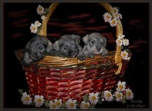 Miniature Schnauzer puppies - non shedding
