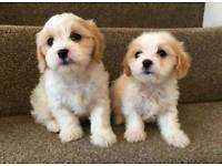 Stunning litter of cavapoo puppies