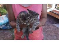 female kittens tabby