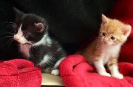 Friendly playful kittens